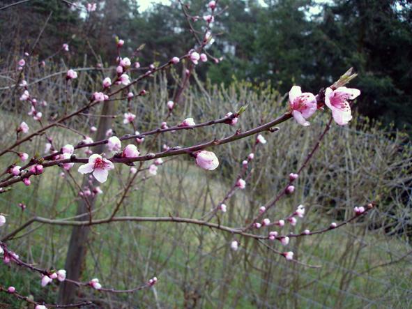 Frühblüher 022