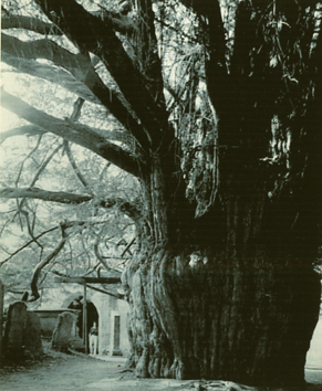 Eibe auf dem Friedhof von Much Marcle, Westengland. Der mehr als zweitausendjährige Baum war bereits alt, als im 13. Jahrhundert die Kirche gebaut wurde. Foto aus: Thomas Pakenham: Meetings with remarkable Trees
