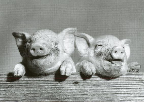 Two Piggies (Foto auf Postkarte Corson/Camerique 1989, www.catch.nl, PC 9685)